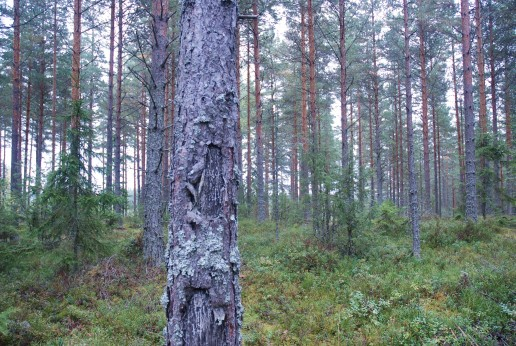 bara massa skog